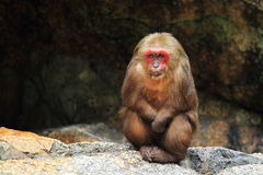 Bear macaque Royalty Free Stock Image