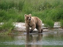 Bear Mama. Alaska brown bear searches for salmon in the Brooks River Stock Image