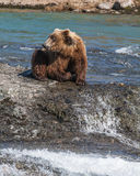 Bear at McNeil River. A bear surveys the area while fishing for salmon at McNeil River Sanctuary in Alaska Stock Images