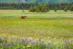 Bear In Meadow Royalty Free Stock Image