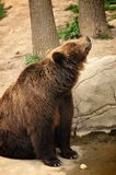 Bear mom watching her sons Royalty Free Stock Images