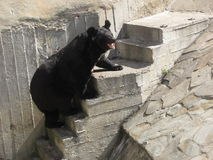 Bear in moscow zoo Stock Photography