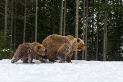 Bear playing in the winter forest. Bear mother and cub playing in the winter forest Royalty Free Stock Photo
