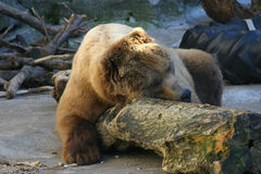 Bear Nap Royalty Free Stock Photos