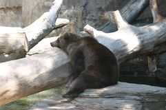 Bear Necessities. This fierce big brown bear that is sometimes called a grizzly Bear decided to plop down and take a much needed nap on a large log in Colorado stock photo