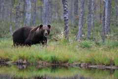 Bear next to a lake. In a bog area Stock Photos