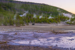 Bear in Norris Geyser Basin at Sunset Stock Photo