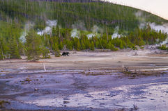Bear in Norris Geyser Basin at Sunset Royalty Free Stock Photo