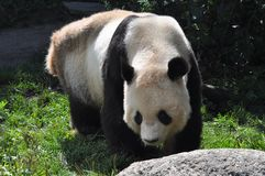 Bear panda Stock Photos