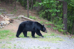 Bear on the path Royalty Free Stock Images