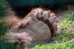 Bear paw 2. Carpathian bear paw, rear leg Royalty Free Stock Photos