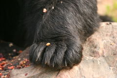 Bear paw Stock Images