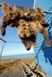 Bear pelt hanging in Inuit community, Alaska, US Stock Images