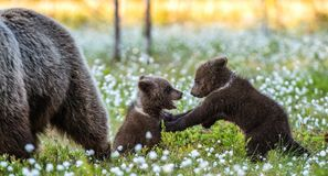 She-bear and playfull bear cubs. Cubs and Adult female of Brown Bear in the forest at summer time. Scientific name: Ursus arctos. White flowers on the bog in stock photo