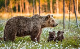 She-bear and playfull bear cubs. White flowers on the bog in the summer forest. stock photos