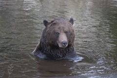 Bear playing in Lake. A bear playing in a lake on grosse mountain near Vancouver Stock Photos