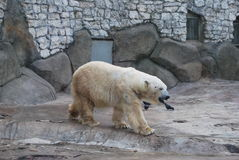 Bear polar Royalty Free Stock Image
