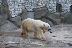 Bear polar. Bear cool day  polar summer Royalty Free Stock Image