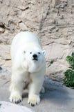 bear polar Στοκ εικόνες με δικαίωμα ελεύθερης χρήσης