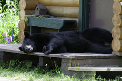 Bear on porch. A black bear laying on a cabin porch Stock Image