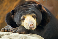 Bear portrait. Malayan Sun Bear close up Royalty Free Stock Photos