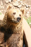 Bear portrait. A brown bear looking to you Royalty Free Stock Image