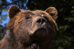 Bear portrait. Brown bear Royalty Free Stock Photo