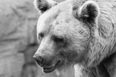 Bear portrait black and white Royalty Free Stock Image