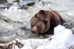 Bear portrait in the frozen lake Royalty Free Stock Photos