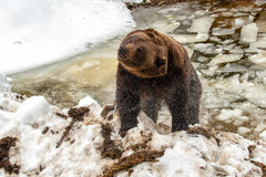 Bear portrait in the frozen lake while stretching Royalty Free Stock Photography