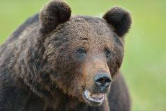 Bear portrait Royalty Free Stock Images