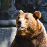 Bear Portrait Stock Images