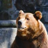Bear Portrait Stock Images