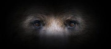 Free Bear Portrait On A Black Background Stock Photo - 168006260