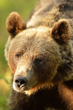 Bear portrait Royalty Free Stock Photo
