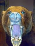 Bear. The predatory grin of a bear stock images