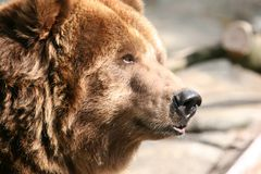 Bear profile. Profile of a brown bear head Stock Photography