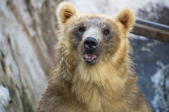Bear. Protection carnivore  climate, nature Royalty Free Stock Images