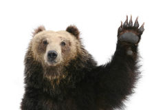 Bear Raising Paw stock image