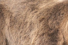 Bear Real Fur Royalty Free Stock Photos