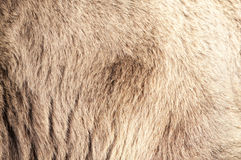 Bear Real Fur Stock Images