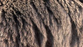 Bear real fur blowing on the wind. Close up macro shot of animal hair in slow motion stock video