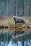 Bear with reflection in water. Big brown bear walking around lake with mirror image. Dangerous animal in the forest. Wildlife scen. E from forest Royalty Free Stock Photos