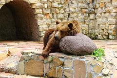 Bear relaxing in zoo in augsburg royalty free stock photo