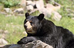 Bear resting Royalty Free Stock Photo