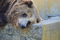 Bear resting on a hot day. Bears are a carnivorous family of mammals. They are large animals, usually omnivores because, despite their fearsome teeth, they eat Royalty Free Stock Images