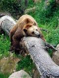 Bear resting Stock Photography