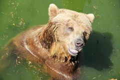 Bear in the river stock photos