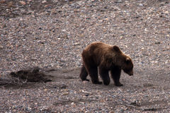 Bear in River Bed Royalty Free Stock Image
