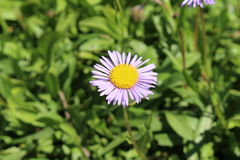Bear River Fleabane flower - Erigeron Ursinus. `Bear River Fleabane` flower in St. Gallen, Switzerland. Its scientific name is Erigeron Ursinus, native to West Stock Photo